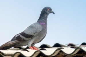 Pigeon Control, Pest Control in Molesey, East Molesey, West Molesey, KT8. Call Now 020 8166 9746